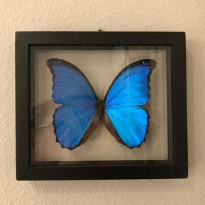Framed Wall Mounted Real Blue Morpho Butterfly